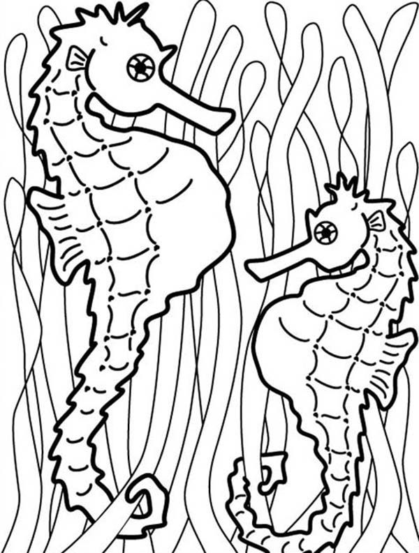 Seahorse, : Two Seahorse Hang onto Seaweed to Catch Food