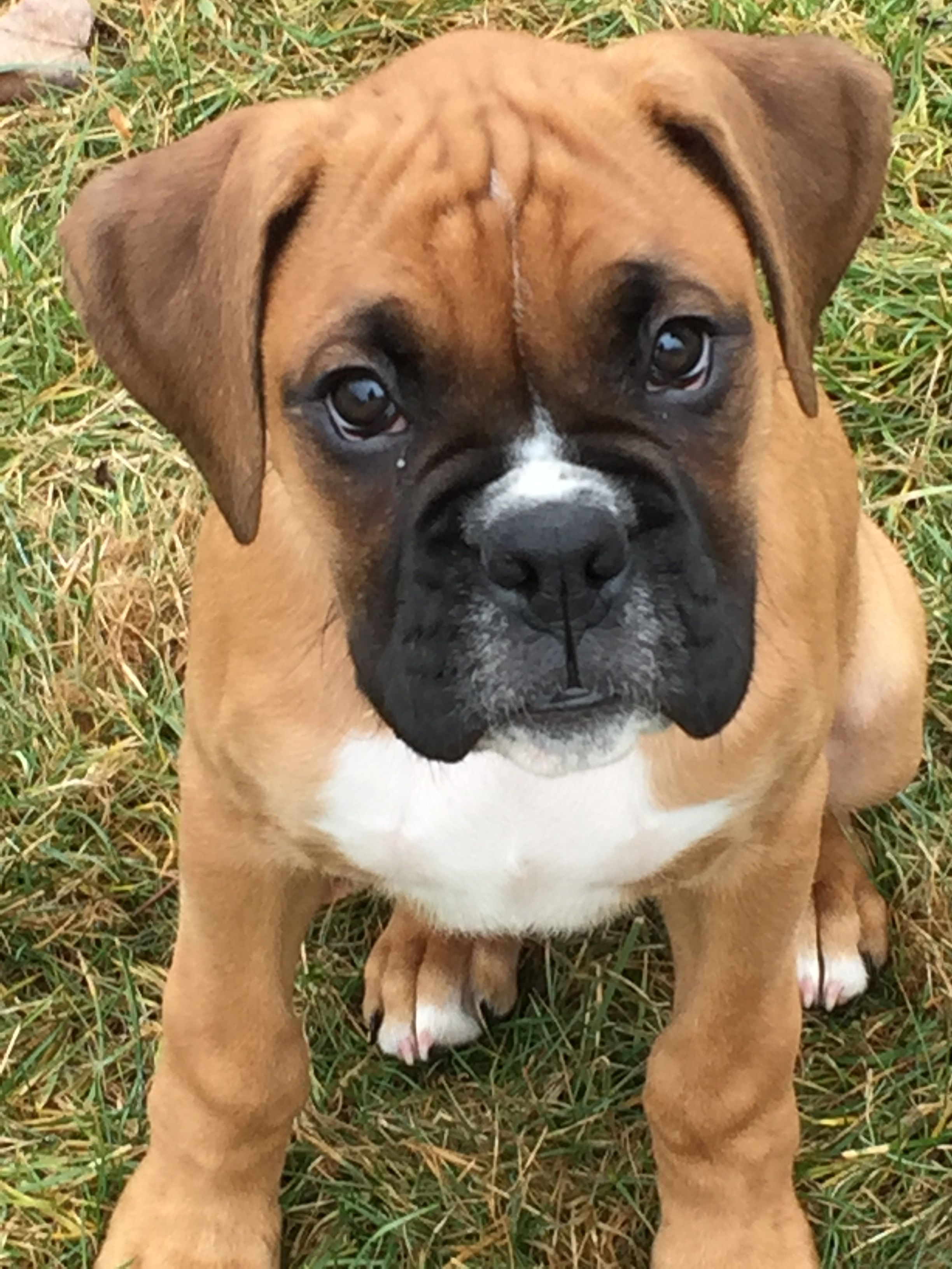 A Good Looking Boxer Pup I Love The White Marking Just Behind The Nose On Top Running Up Between The Eyes Boxer Puppies Boxer Dogs Boxer Dogs Brindle