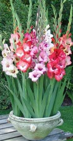 It All About Gladiolus Flowers Growing Gladiolus Flower Container Flowers Beautiful Flowers Garden