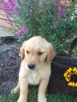 Litter Of 7 Golden Retriever Puppies For Sale In Farmville Va