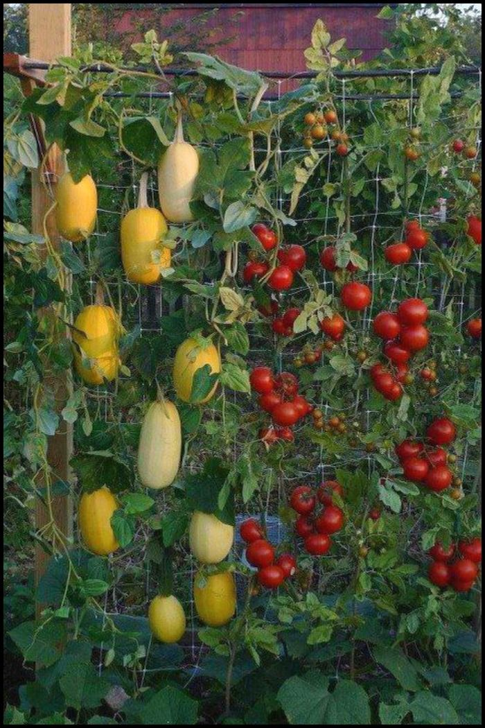 Vertical Garden   Spaghetti Squash What A Great Idea! This Would Be Awesome!