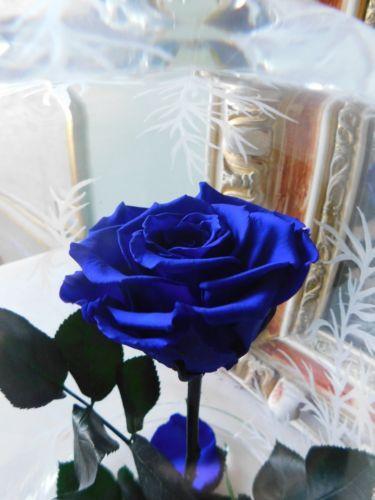 Belle Image Rose Bleu rose-la-belle-et-la-bete-rose-bleu-naturelle-eternelle-stabilisee