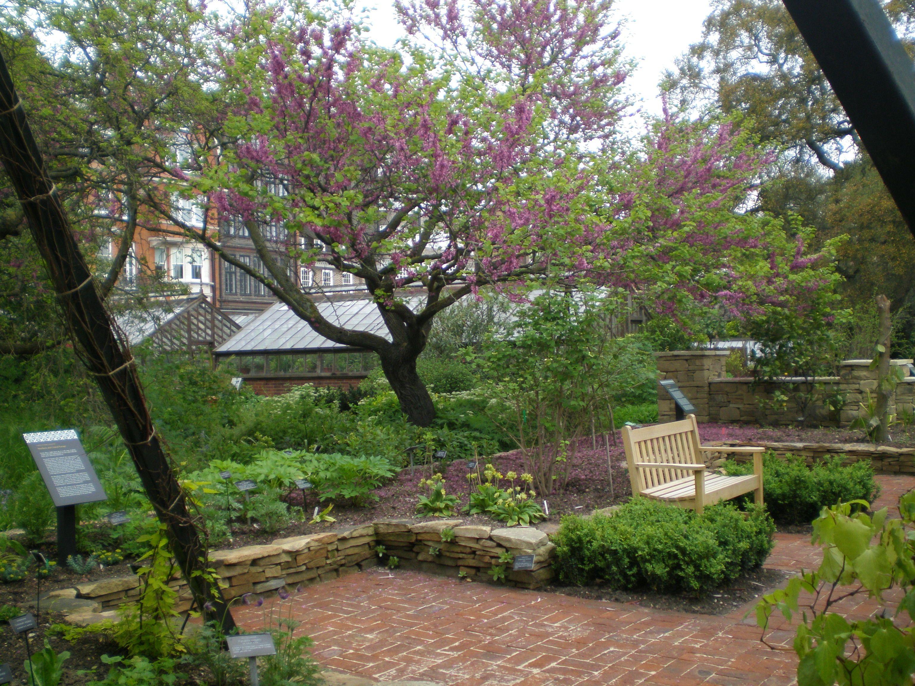 Chelsea Physic Garden | Judas tree, Garden, Medicinal plants