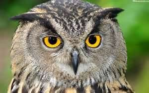 owl faces - Yahoo Image Search Results