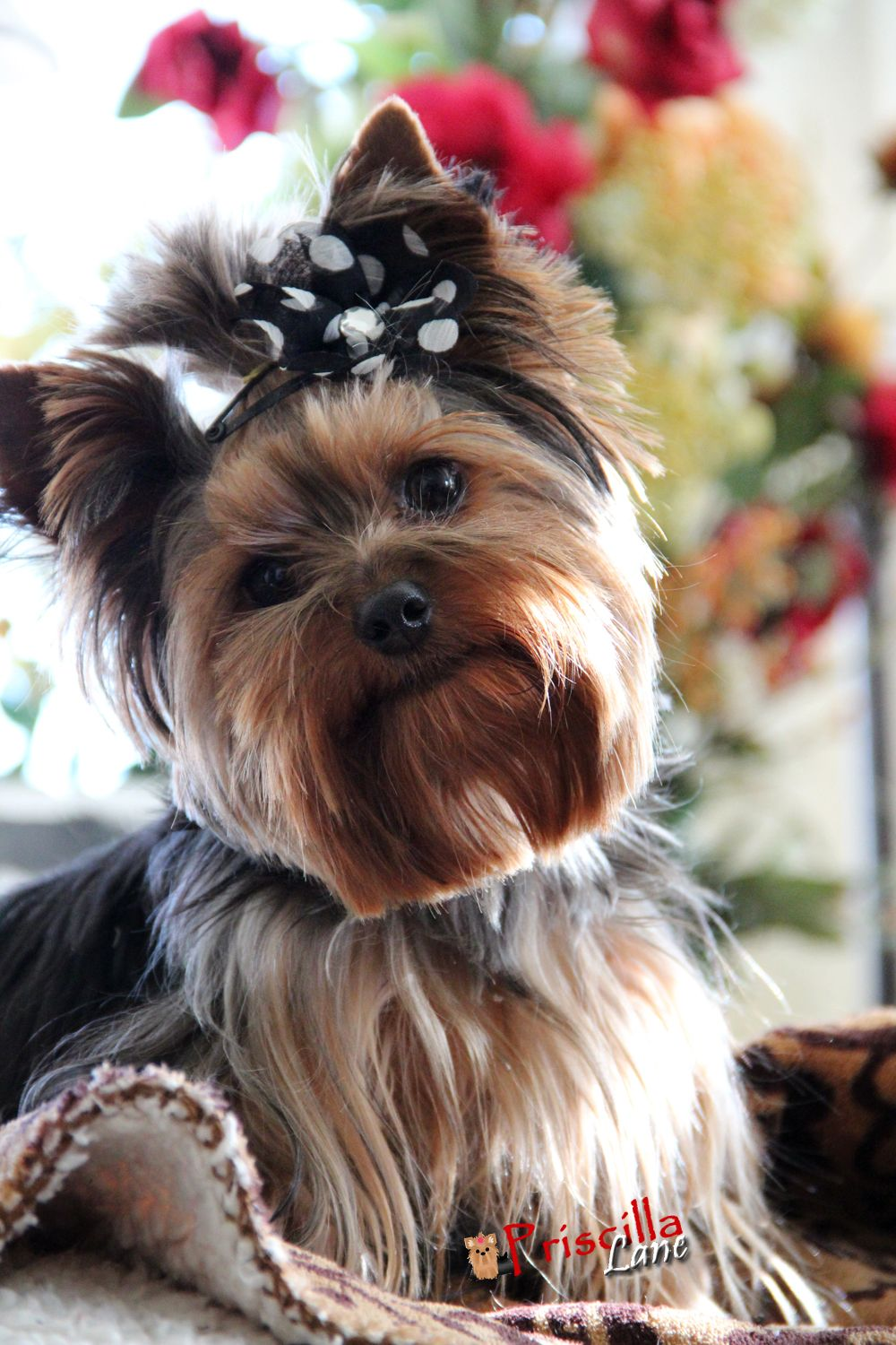 Want To Go For A Ride Priscilla Yorkie Yorkie Lovers Yorkie Puppy