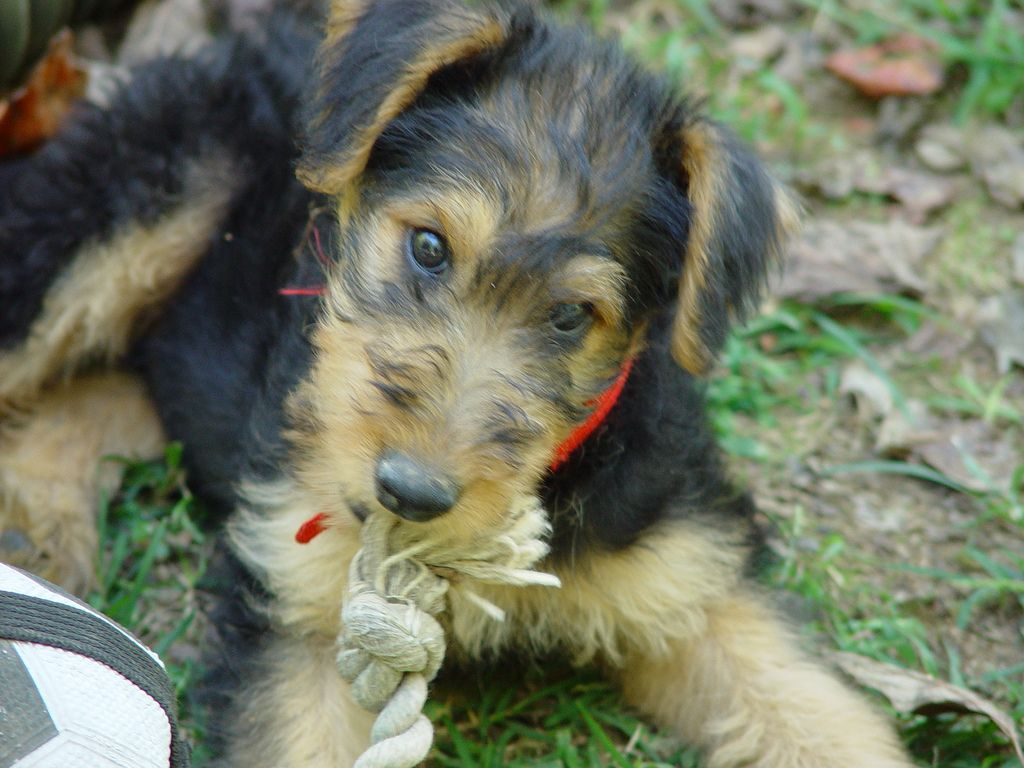 "https://flic.kr/p/4qUgFi | ""Little One""  9 week old Airedale"