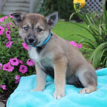 Australian Shepherd Siberian Husky Mix Puppy For Sale In Gap Pa