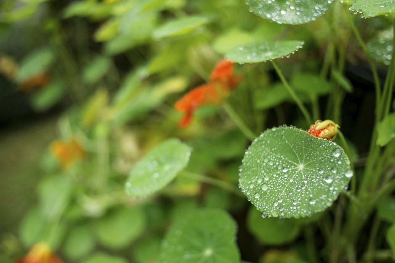 La Centellaasiatica Posee Propiedades Cicatrizantes Anti Inflamatorias Re Estructurantes Venoprotectoras Y Estimula La Síntesis De Flowers Plants Dandelion