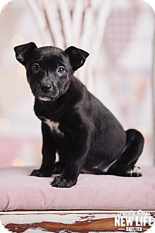 Portland Or Labrador Retriever Australian Cattle Dog Mix Meet