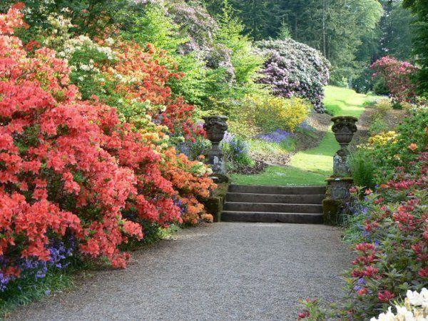 rododendros en flor en un jardn oriental