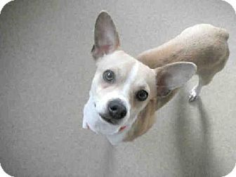 Raleigh Nc Chihuahua Cardigan Welsh Corgi Mix Meet Hank A Dog