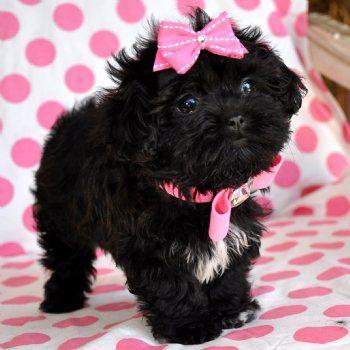 Tiny Peekapoo Puppy Adorable Black Princess Amazing Lush Coat 21