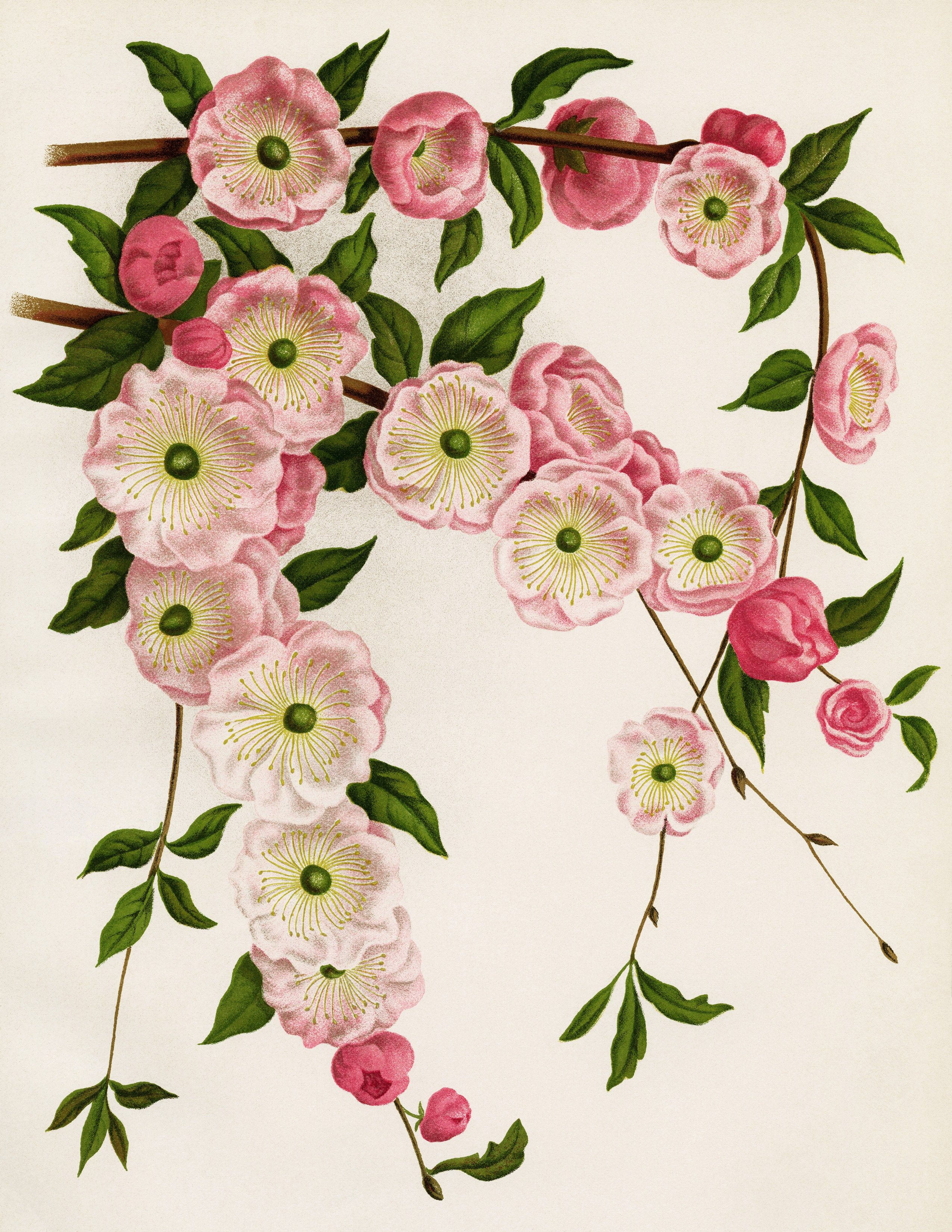 Flor de amendoeira/Almond