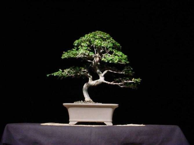 Bonsai Society Of Dallas,