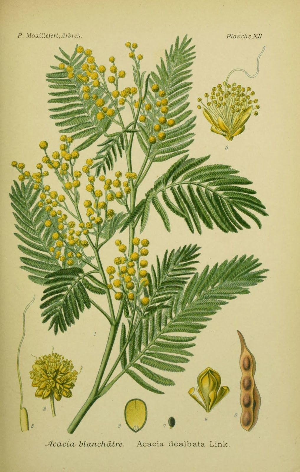 The Mimosa Tree Acacia Dealbata The Garden Of Eaden Mimosa Tree Botanical Drawings Botanical Prints