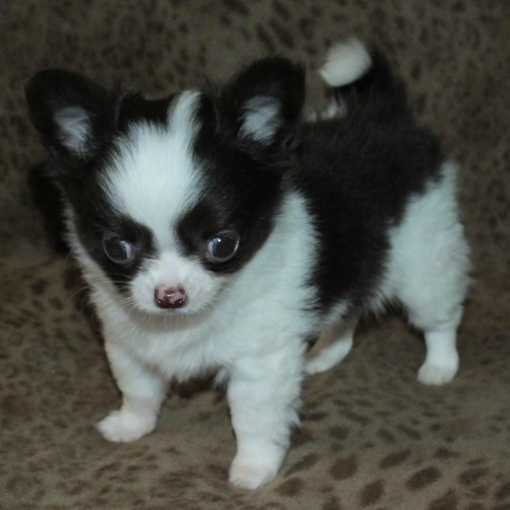 Breeding Quality Standard And Overall Sound Akc Chihuahuas Long