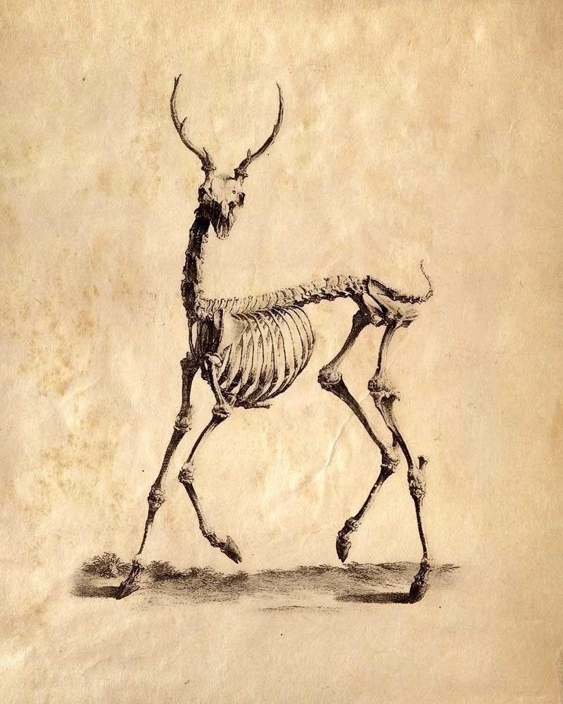 Deer skeleton | animal skeletons | Pinterest | Skeletons, Animal ...