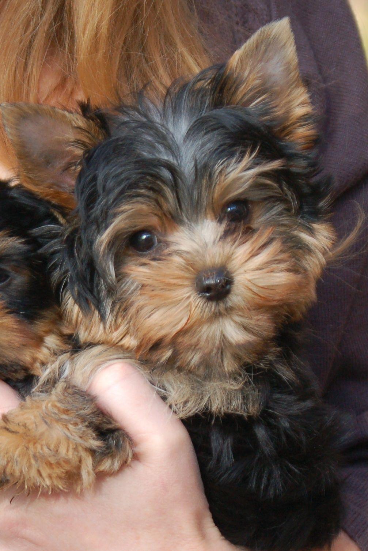 This Is Masterpiece S Little Boy Yorkshire Terrier Puppies Yorkie