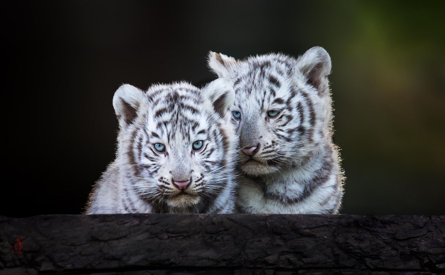 White Tiger Cubs By Jean Claude Sch On 500px