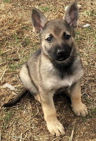 Adopt Nova On Animals Dogs Puppies German Shepherd Dogs