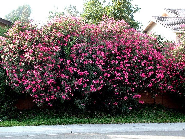 el arbustos adelfa muy bello paisajismo Pinterest Arbustos