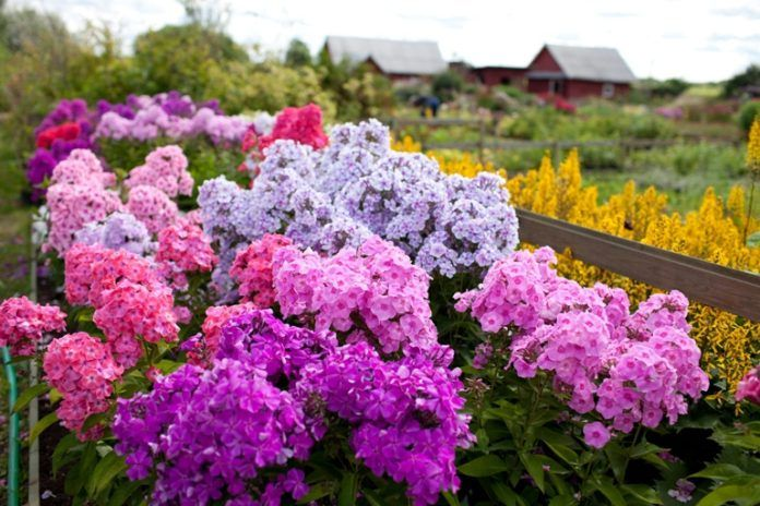 Évelő növények, amelyek nem igényelnek fejtörést