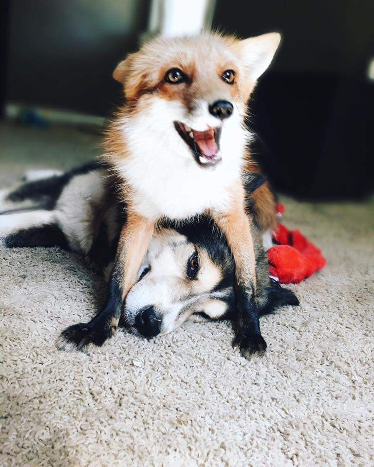 Foxes Sit On Things They Want To Own Like This Follow
