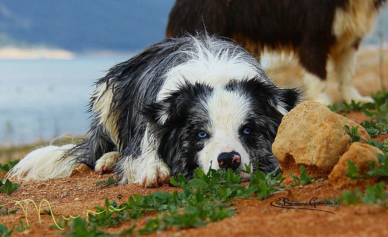 This is sooooo Border Collie..... Dog lovers, Best dogs