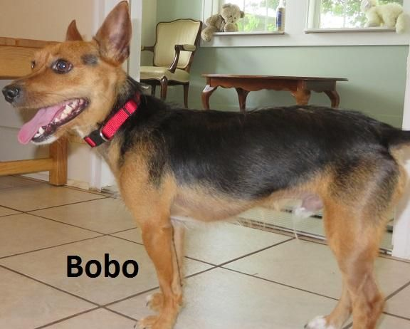 Adopt Bobo On Yorkie Chihuahua Mix German Shepherd Chihuahua