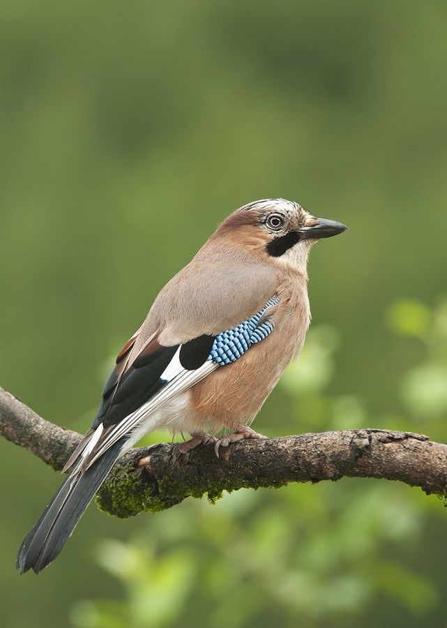 Eurasian jay - (Garrulus glandarius) Distribution: vast region from Western Europe and north-west Africa to the Indian Subcontinent and further to the eastern seaboard of Asia.