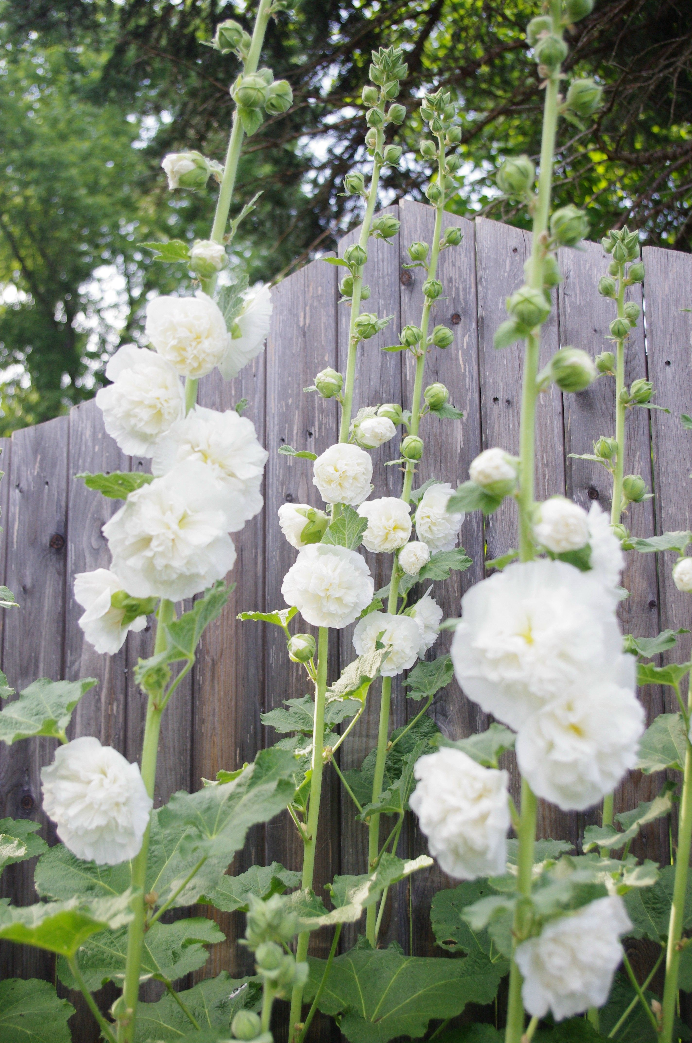 white hollyhocks these are wonderful for a fence line or a