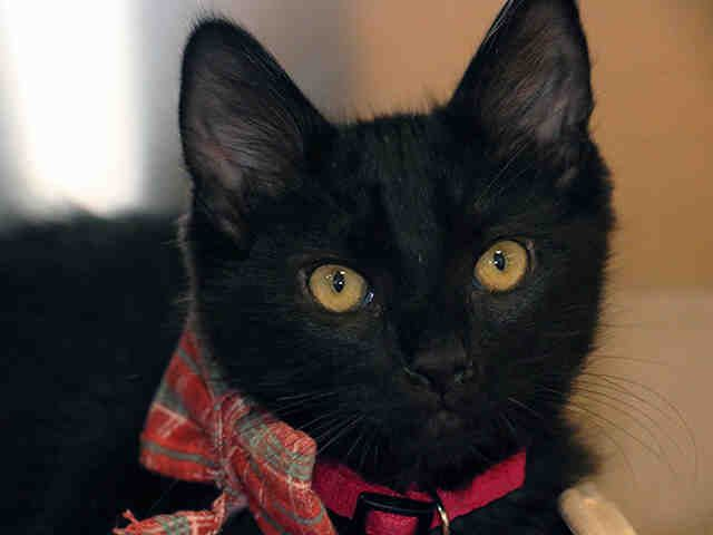 Drowzee Is An Adoptable Domestic Short Hair Searching For A Forever Family Near Pasadena Ca Use Petfinder To Find Adoptable Pets In Your Furry Friend Cat Love