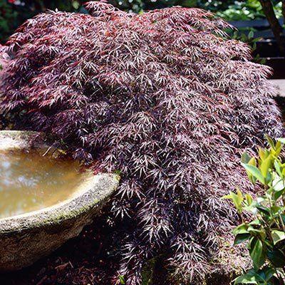 50eachTamukeyama Japanese Maple Brighter Blooms   wwwamazon