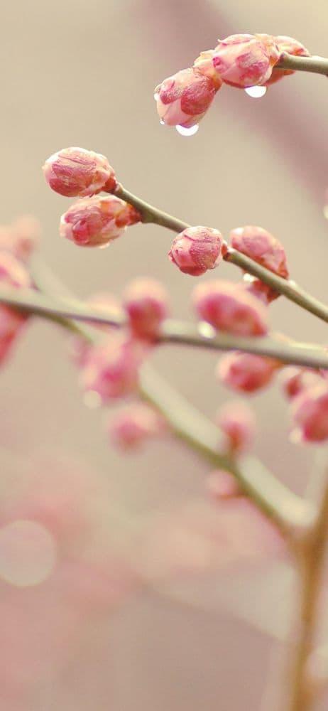 خلفيات ورد للايفون Flowers Dandelion Wallpaper