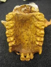 Heliopithecus es un género extinto de primates catarrinos de la familia Proconsulidae que existieron hace 16 millones de años durante el Mioceno. Restos fragmentarios de fósiles de dientes de la mandíbula y un diente aislado se encontraron en Arabia Saudí.