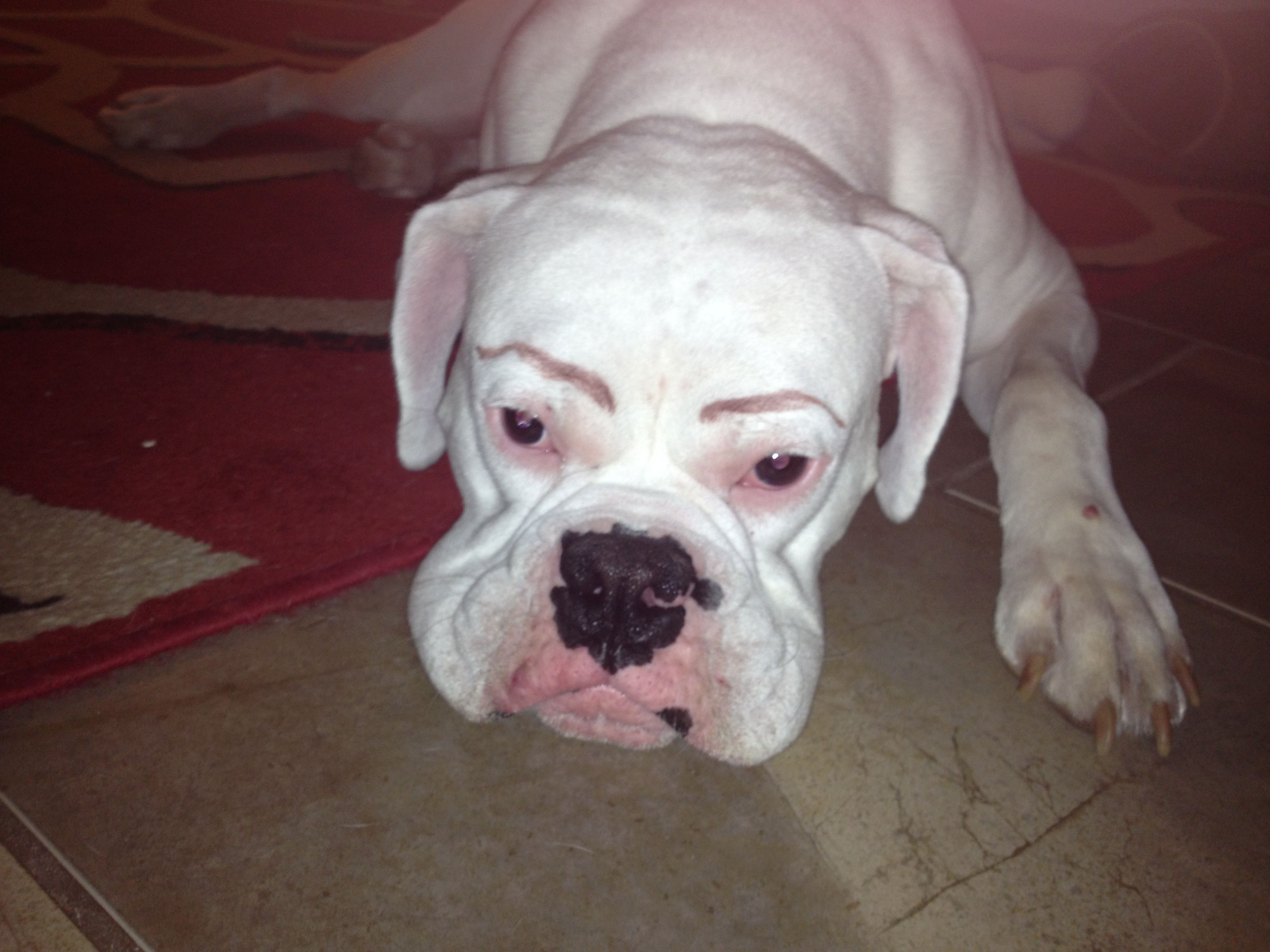 White Dogs Should Always Have Eyebrows Drawn On Them Dog With