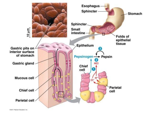 Digestive Glands Secrete Into Si Duodenum Pancreas