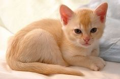 How Much Does A Burmese Kitten Cost Click The Picture To Read Burmese Kittens Burmese Cat Kitten