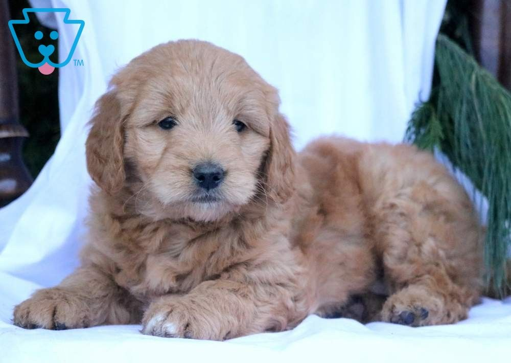 Buffy Goldendoodle Miniature Puppy For Sale Keystone Puppies Goldendoodle Miniature Cute Baby Animals Miniature Puppies