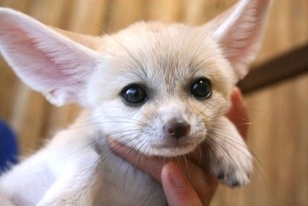 可愛いフェネックの赤ちゃん 美しい動物 野生動物 面白い動物