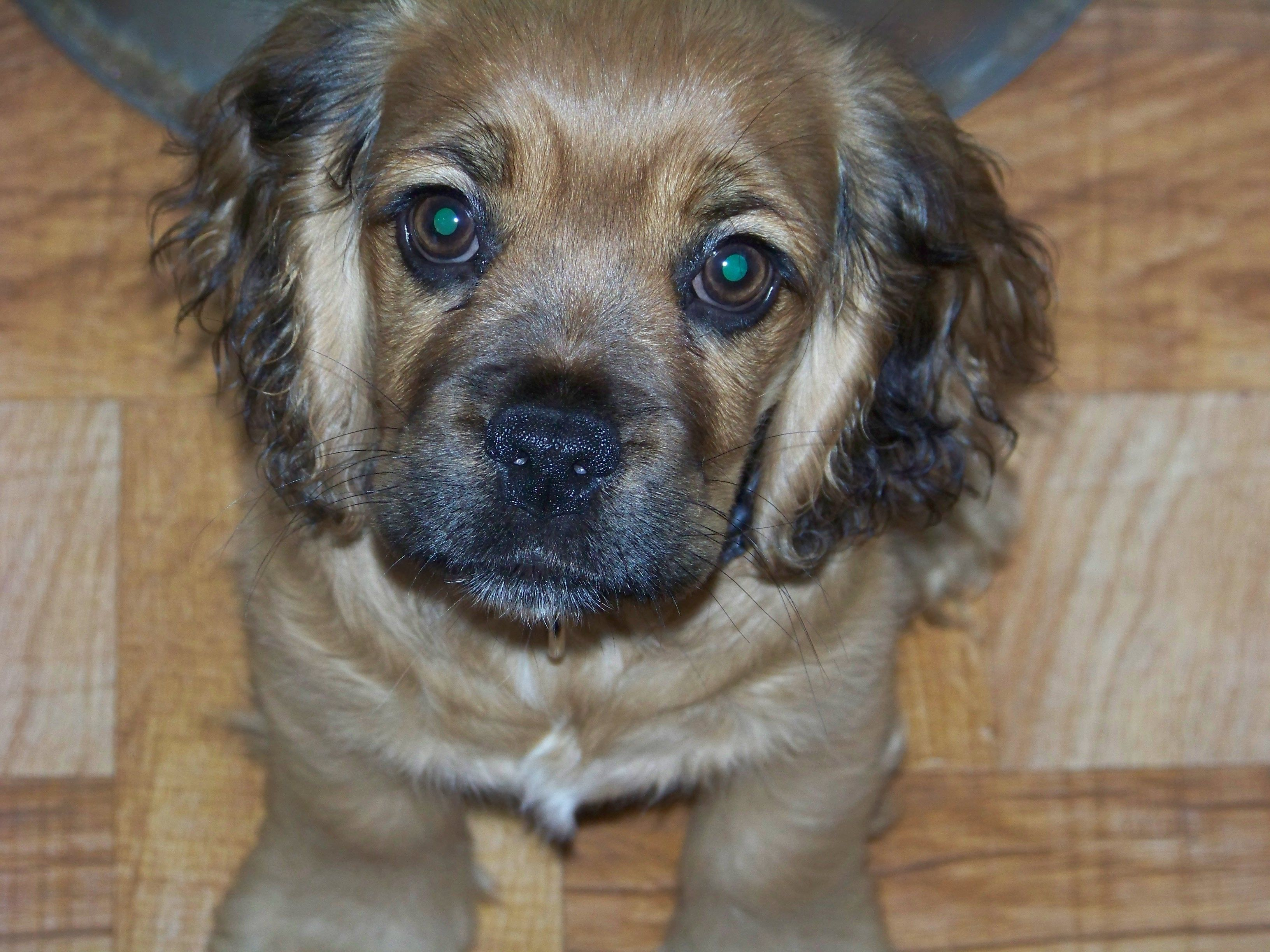 Cocker Spaniel Beagle Mix This Dog Is Adorable With