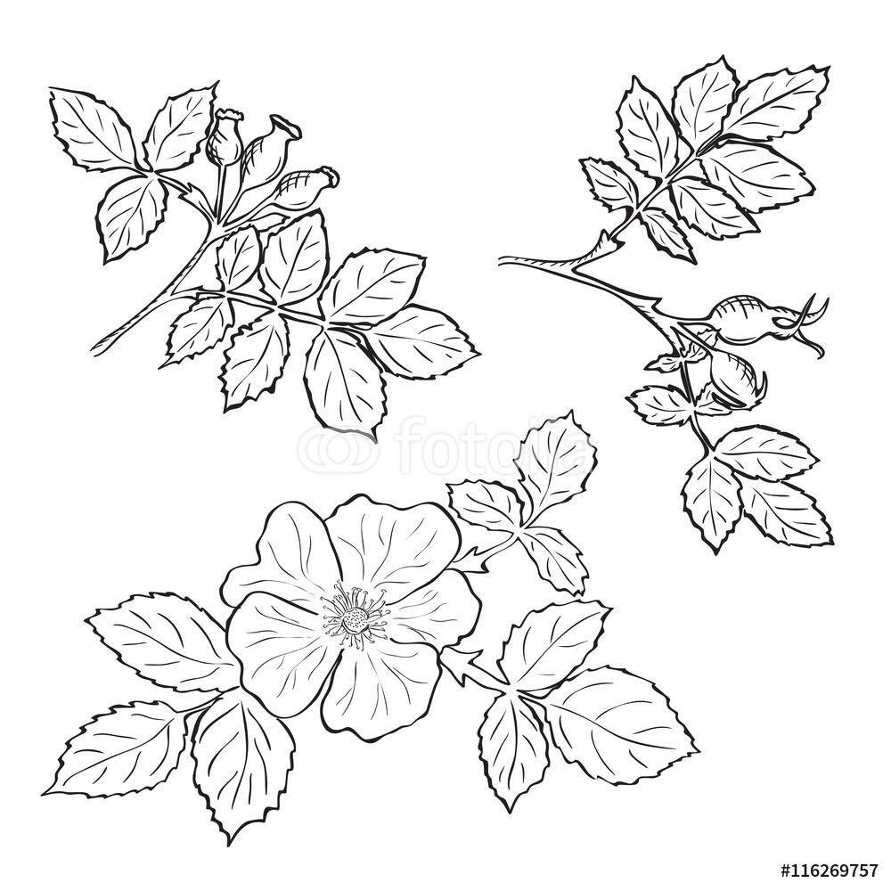Ręcznie rysowane szkic dzika róża kwiaty i owoce