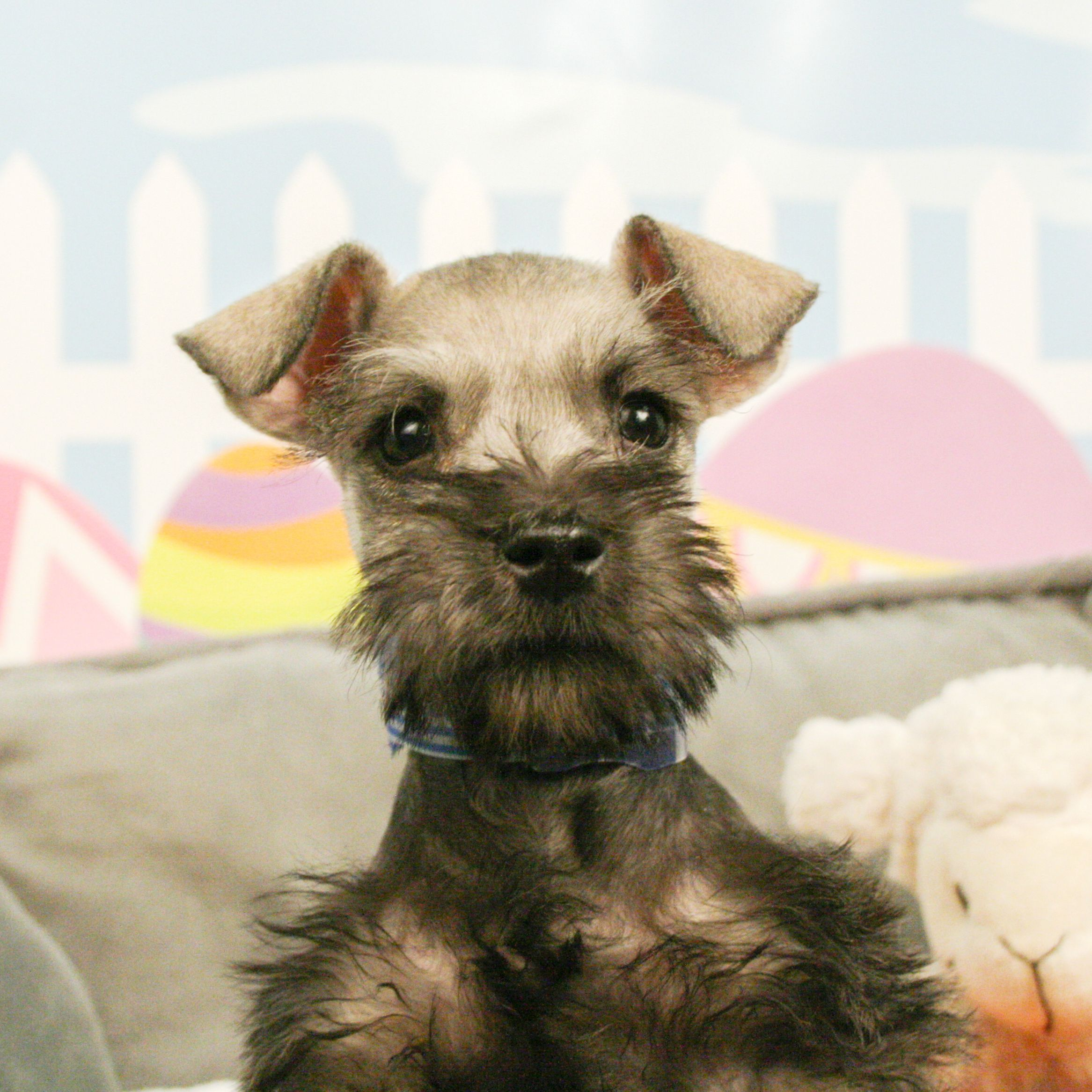 This Schnauzer puppy is perfect! The Miniature Schnauzer