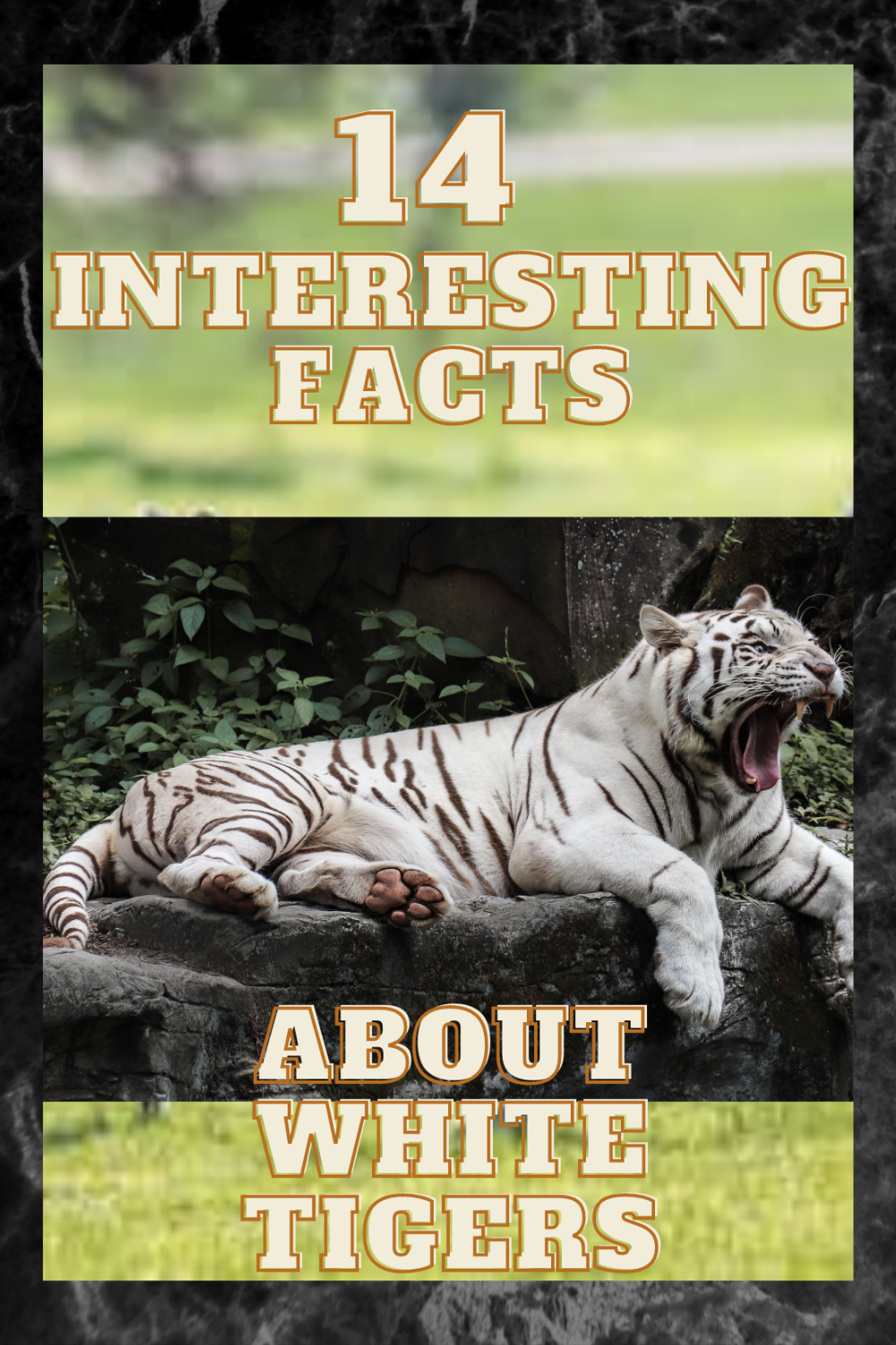 White Tiger F Facts Animal Facts For Kids Tiger Facts Animal Facts For Kids Fun Facts About Tigers