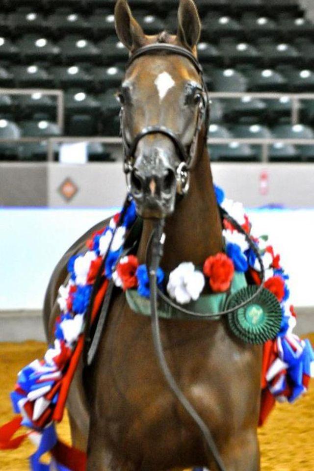 ZA MAGNUMOISELLE MTC - Three time National Champion Half-Arabian Mare bred by us