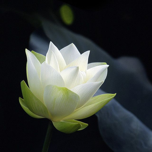 White lotus early stage of blossom flower lotus and flowers photo by rosemary white lotus lotus bloom pink lotus flower lotus mightylinksfo Choice Image