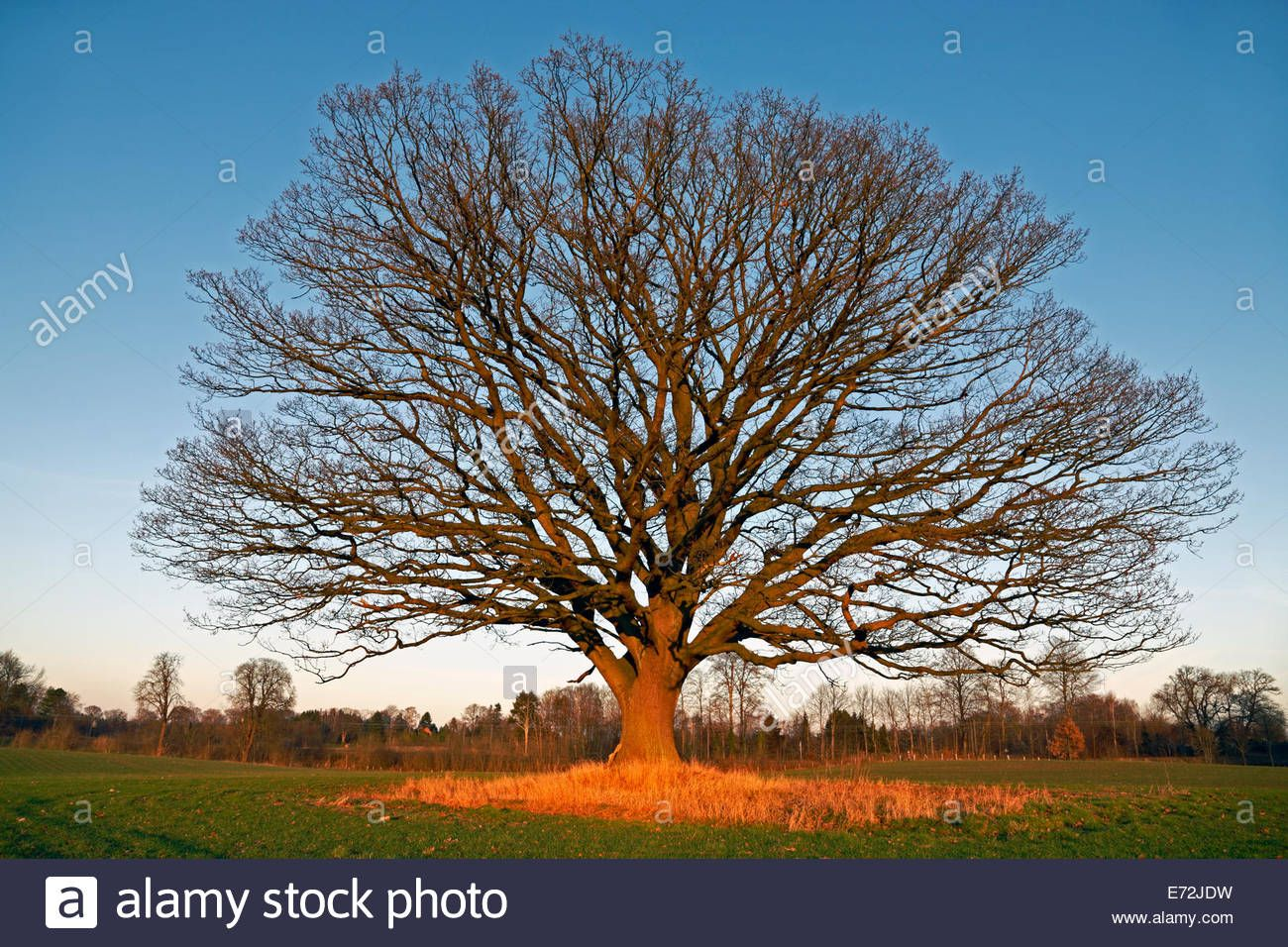 Big Old Oak Tree Common Oak English Oak Quercus Robur With
