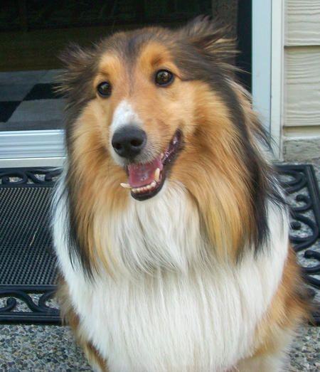 Rocky The Shetland Sheepdog Must Dogs Pups Shetland