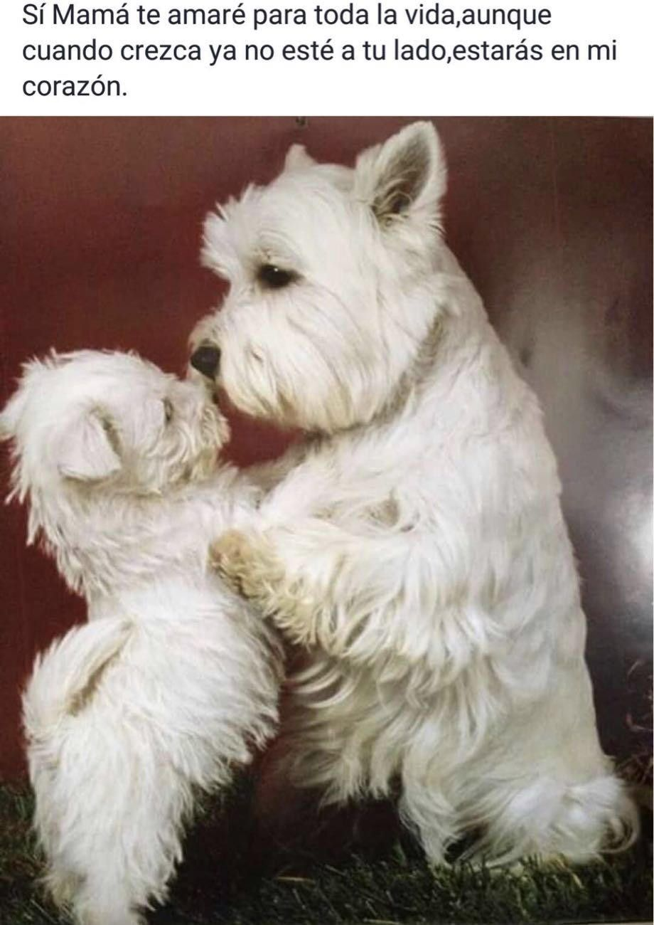 Pin By Rick Kent On Dogs Dogs Westie Puppies Cute Dogs