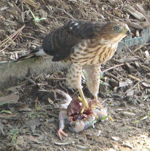 Its a hawk consuming i guess a bird , the hawk is a tertiary consumer and the bird i guess is being consumed.